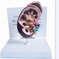 Quality Anatomical Kidney Model -EYAM-08 for sale