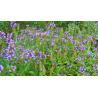 Prunella vulgaris L for sale