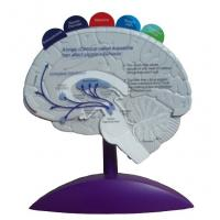 Quality Model of brain -EYAM-09 for sale