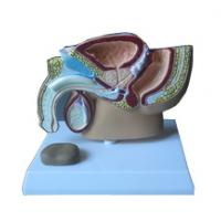 Quality Model of male pelvic cavity -EYAM-17 for sale