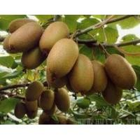 Quality Golden kiwi seedlings best golden pulp kiwi seedlings 2y young seedlings for sale