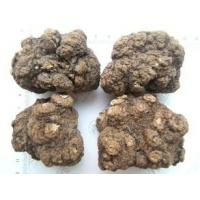 China Rhizoma Ligustici Chuanxiong,Sichuan lovage rhizome,Ligusticum chuanxiong Hort for sale