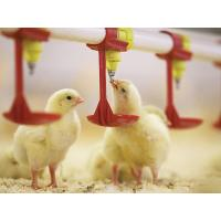 China Automatic Poultry Farm Equipment Chicken Drinking System for Broiler Farm for sale