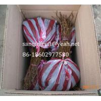 Quality Jin Yan kiwi seedlings(Golden color or Golden dragon kiwi fruit) yellow color for sale