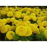Quality Plant extract Marigold P.E.10% for sale