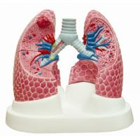Buy Lung Model-EYAM-01 at wholesale prices