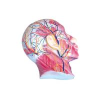 Quality Superficial muscles of facial nerves and blood vessels for sale
