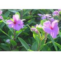 Quality Vinpocetine-Periwinkle plant Extract Vinca Minor L for sale
