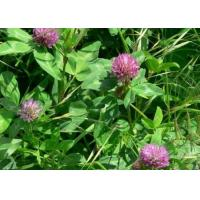 Elderberry extract Product name: Red clover ExtractPlant origin: TrifoliumPratense L.Specification: isoflavons 40% 90%Product introduction: Perennial, sometimes biennial, legume, sparingly pilose to glabrous, sometimes densely pilose; a perennial herb t