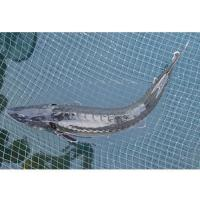 Buy cheap Chinese Sturgeon from wholesalers