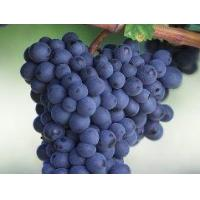 Quality Anthocyanins Grape seed extract for sale