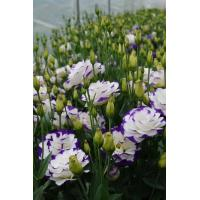 Lisianthus Seeds Super Magic Blue Picotee