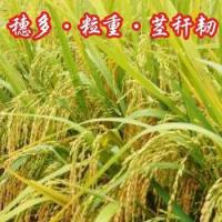 Hybrid Rice Xieyou 2226 for sale