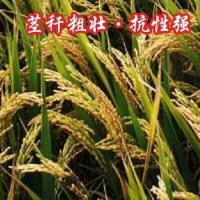 Hybrid Rice Xiuyou 378 for sale
