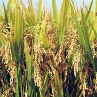 China Good Rice Seeds Zhongzao 39 for sale