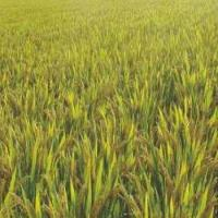 China Good Rice Seeds Xiushui 09 for sale
