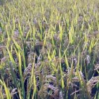 Good Rice Seeds Xiushui 519 for sale