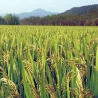 China Good Rice Seeds Xiushui 417 for sale
