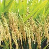 Hybrid Rice Yueyou 9113 for sale