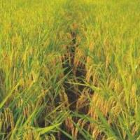 Good Rice Seeds Y Liangyou No.1 for sale