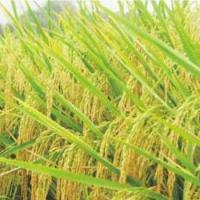 Hybrid Rice Y Liangyou 5867 for sale