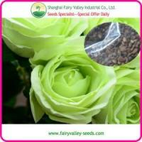 Green rose flower seeds for growing