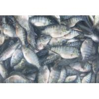 China Spa fish Doctor FISH on sale