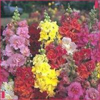 Antirrhinum Madam Butterfly Mix