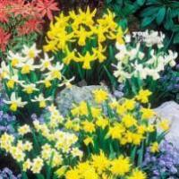 Buy cheap Plants Dwarf Narcissi Bulbs from wholesalers