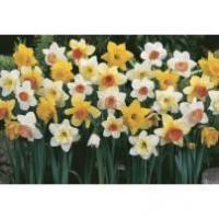 Buy cheap Plants Daffodil & Narcissi Bulbs from wholesalers