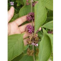 Buy cheap Browse by Common Name American Beautyberry from wholesalers