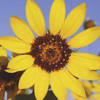 Buy cheap Browse by Common Name Common Sunflower from wholesalers