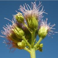 Buy cheap Browse by Common Name Blue Mistflower from wholesalers