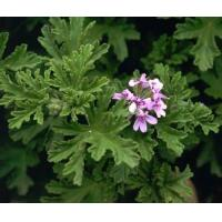 Buy cheap Essential oils Geranium essential oil from wholesalers