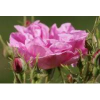 Buy cheap Rose absolute Rose oil absolute from wholesalers