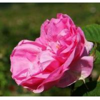 Buy cheap Rose concrete Rose oil concrete from wholesalers