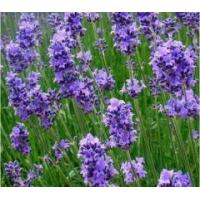 Buy cheap Aromatic waters Lavender essential water from wholesalers