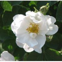 Buy cheap Essential oils Rose otto - Rose Alba from wholesalers